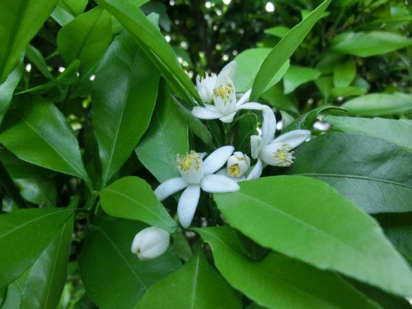 170524 庭の花1