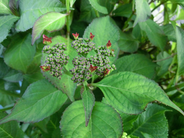170524 庭の花5