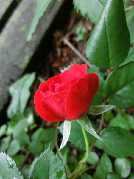 170528 庭の花2