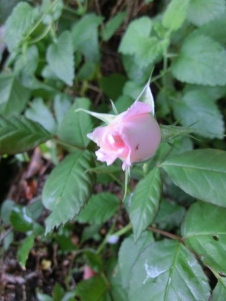 170528 庭の花3