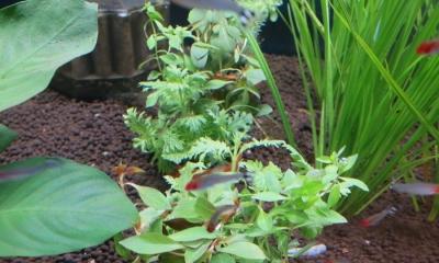 寄せ植え水草 3種植え 素焼き鉢