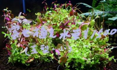 寄せ植え水草