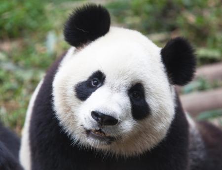 panda_iStock_000018884983Medium.jpg