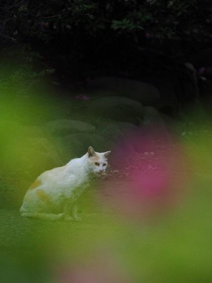 護国寺の猫8
