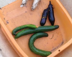 夏野菜もそろそろ