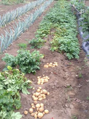 ジャガイモ掘ったり