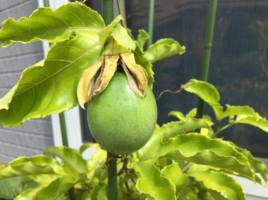 パッションフルーツの実④