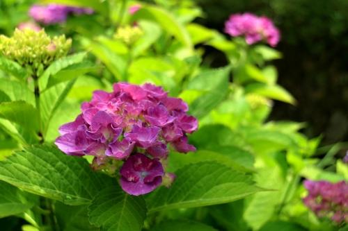 IMG_0342  あじさい 紫