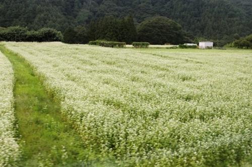 IMG_9577 (2) そば畑