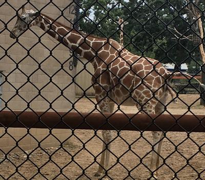 giraffe1701.jpg
