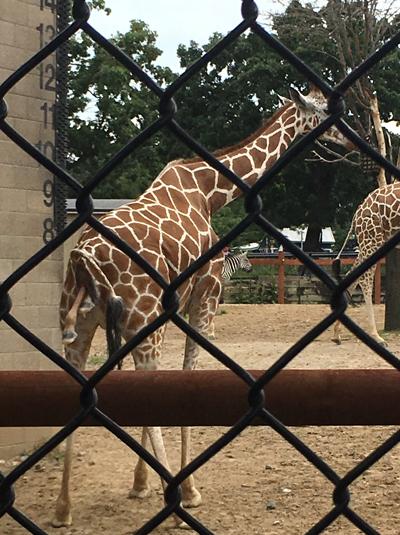 giraffe1702.jpg