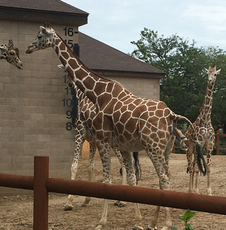 giraffe1703.jpg