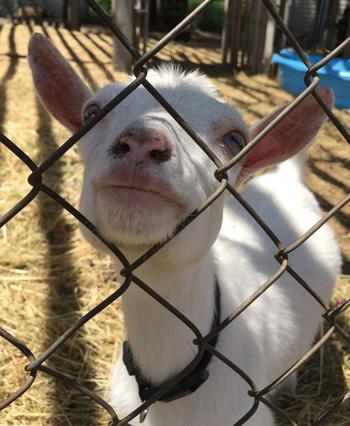 goat1702.jpg