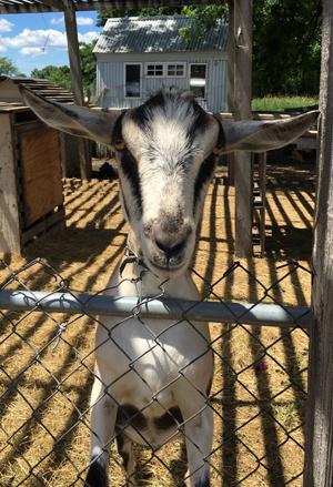 goat1704.jpg