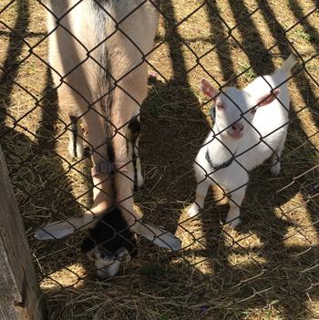 goat1705.jpg