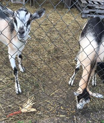 goat1706.jpg