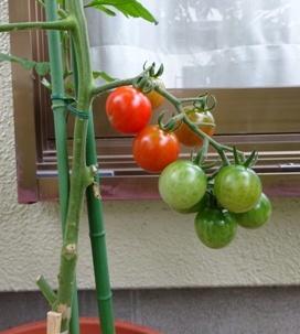 17ミニトマト1