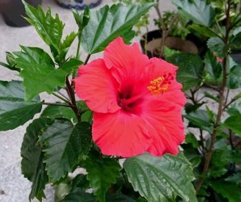 赤い花 350