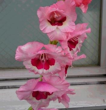 pinkの花2 350