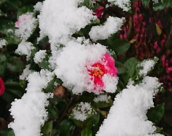 雪椿 350