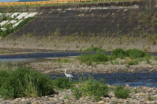 aDSC07840厚狭川のアオサギ
