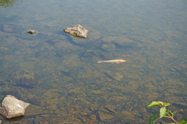 aDSC07855厚狭川の鯉