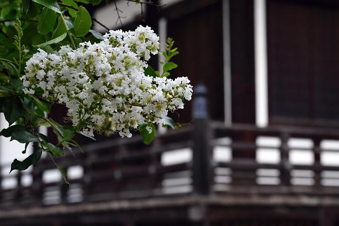 東大寺 サルスベリ2