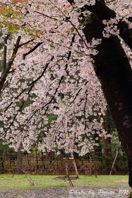 hirosaki1704A-0040.jpg