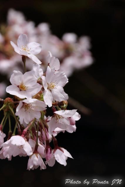 hirosaki1704A-0057.jpg