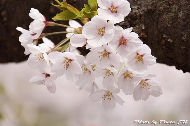hirosaki1704B-0030.jpg