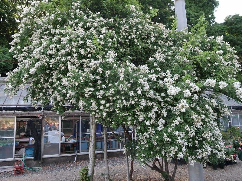 10IMG_2935ノイバラ Rosa Multiflora (800x600)