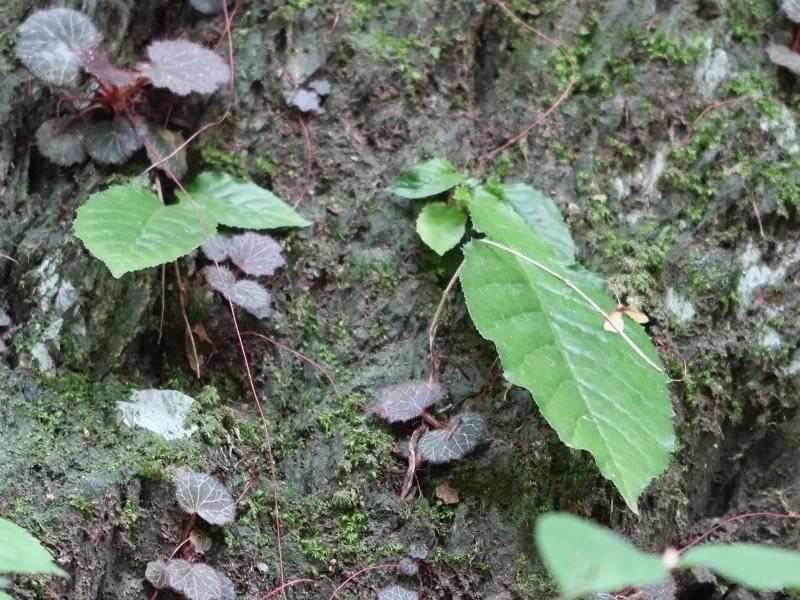 10イワタバコの葉 (800x600)