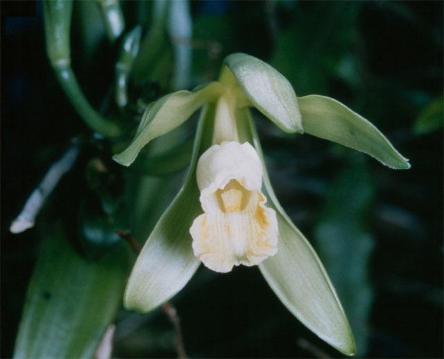 Vanilla_planifolia_1 (640x517)