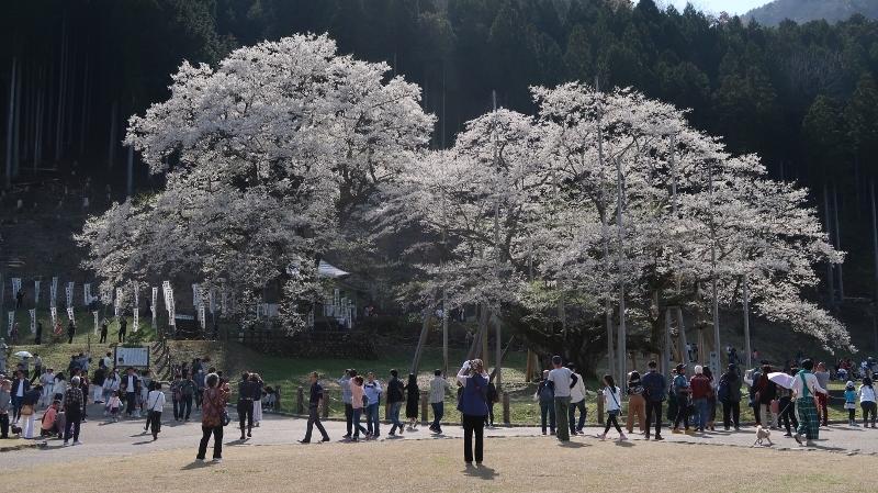 1020170416淡墨桜 (800x449)