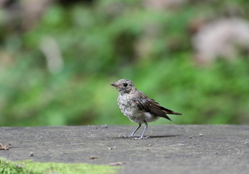 幼鳥4170727