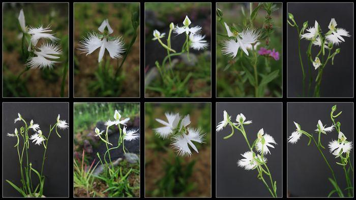 サギ草10種