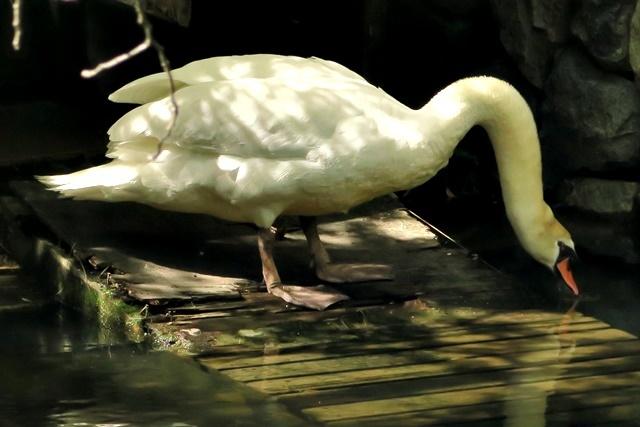 白鳥の親1