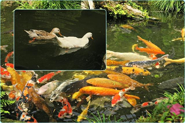 鯉とアヒル