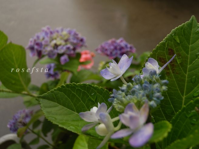 深山八重紫