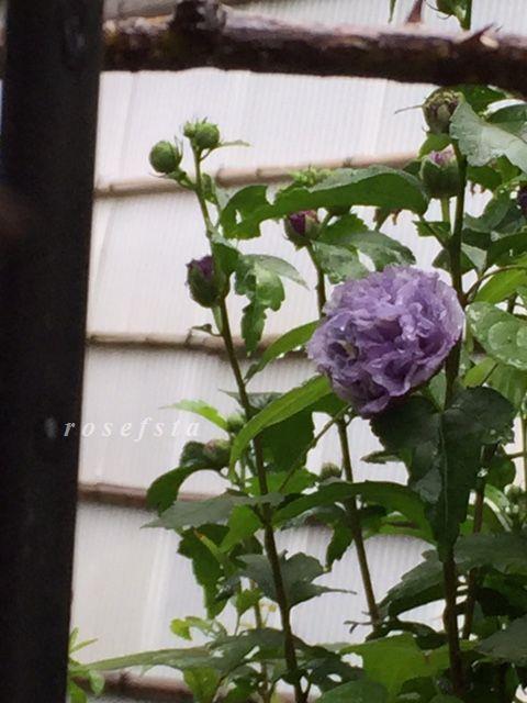 ムクゲ・紫玉