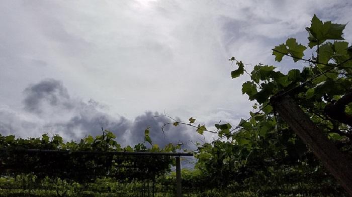ぶどう園8