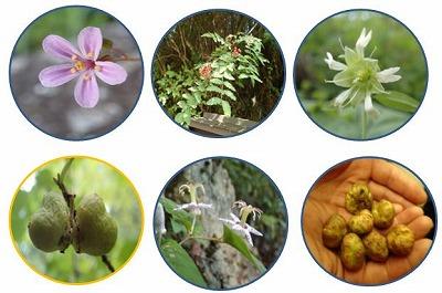 馬篭の花と実