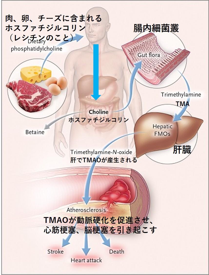 MEC食とホスファチジルコリン
