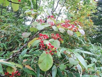 ムシカリの木の赤い実