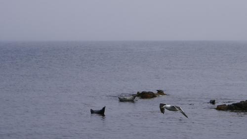 礼文島カモメアザラシ