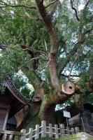 大徳寺の大楠木