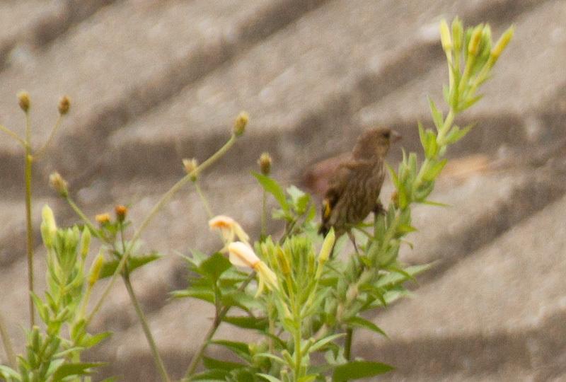 カワラヒワ幼鳥IMG_9561