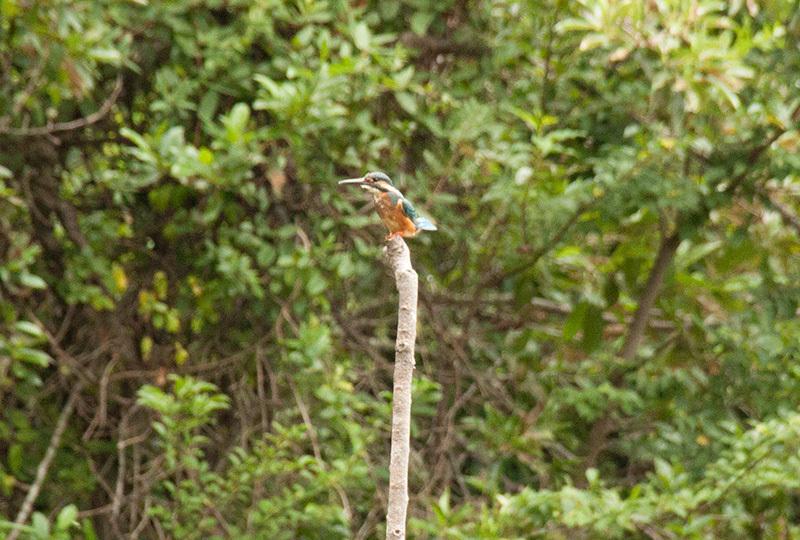 カワセミ幼鳥IMG_0300