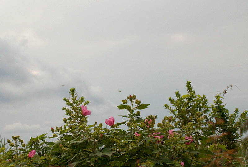 フヨウと曇り空IMG_0427