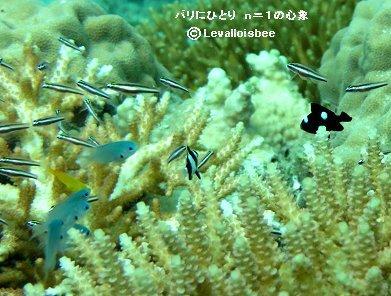 サンゴに群れる稚魚たちREVdownsize